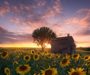 sky and sunflowers image