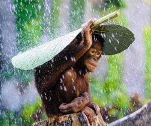 animal, monkey, and rain image