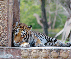 beautiful, explore, and tiger image