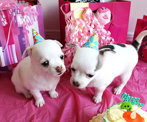 aww, chihuahua, and puppies image