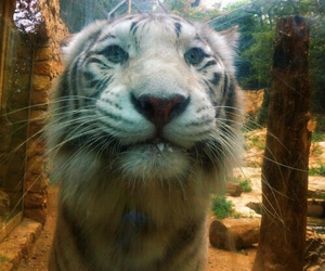zoo, tiger, and cute image
