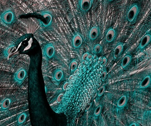 animal and peacock image