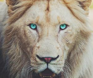 lion, animal, and eyes image