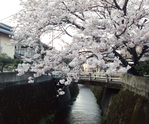 japan, river, and sakura image