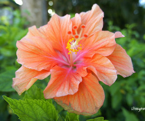 hibiscus, tropical, and tropical flower image