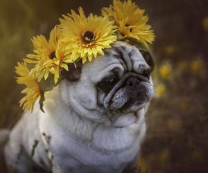 adorable, pretty, and pug image