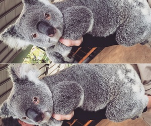 cute and Koala image