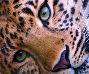 animal, leopard, and eyes image