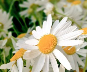 daisies, plants, and flowers image