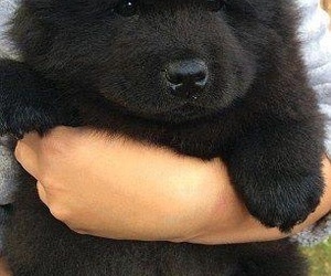 adorable, black, and chow-chow image