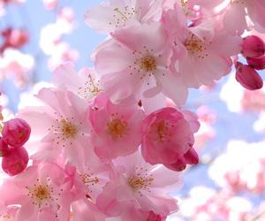 cherry blossom, pink, and sakura image