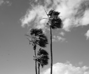 black and white, palm trees, and wind image