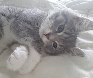 cat, fluffy, and grey image