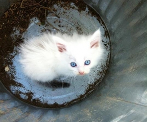 cat, white and blue, and cute image