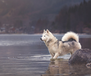 dog, husky, and nature image