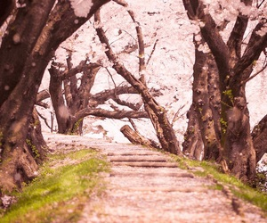 japan, cherry blossoms, and sakura image