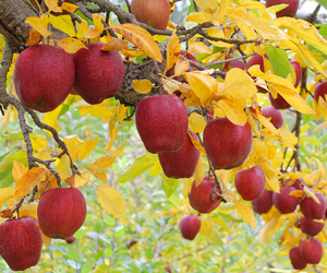 apple tree, apples, and fall image