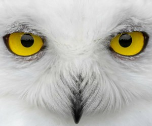 owl, white, and bird image