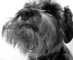 black and white, dog, and nose image