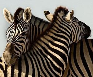 zebra, adorable, and bff image