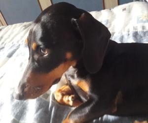 daschund, dog, and pet image