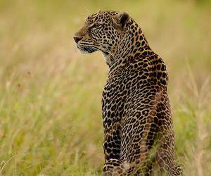dangerous and leopard image