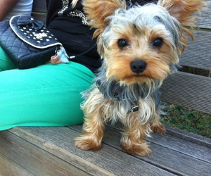 dog, yorkshire terrier, and love image