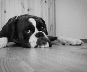 black and white, hund, and boxer image