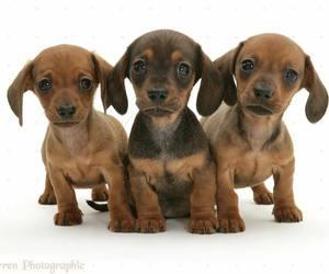 cute, puppy, and sausagedog image