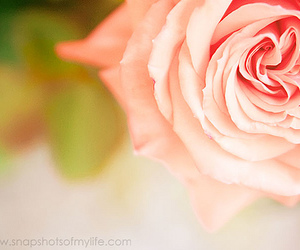 macro, rose, and photography image