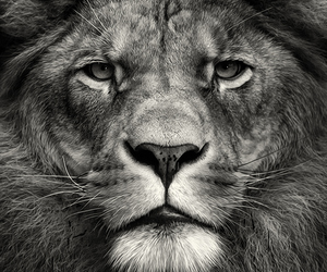 beauty, nature, and lion image
