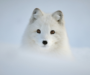animal, fox, and white image