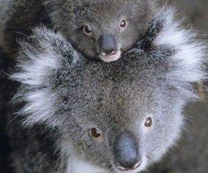 animals, mother love, and Koala image