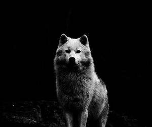 wolf, black, and cool image