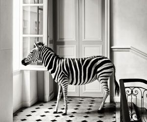 zebra, black and white, and animal image
