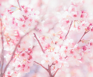 pink, japan, and sakura image