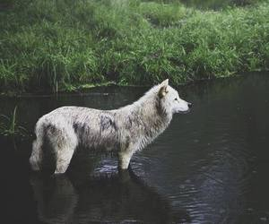animals, beautiful, and wolves image