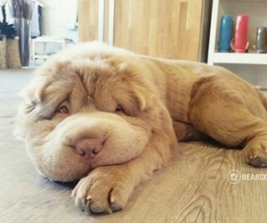 adorable, puppy, and sharpei image