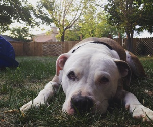 adorable, animals, and pit bulls image