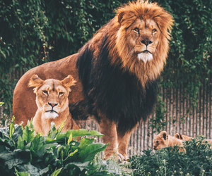 animals, lions, and photography image