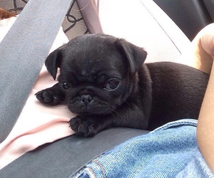 baby, pug, and puppy image