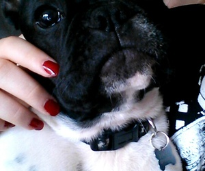 dog, french bulldog, and puppy image