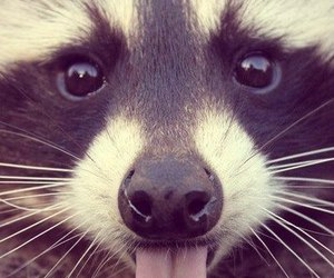 animal, raccoon, and tongue image
