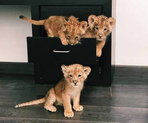 cats, lion, and lovely image