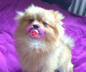 boo, little, and pomeranian image