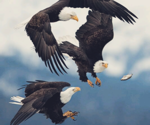 bird, eagle, and nature image