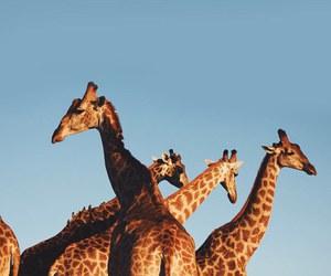 giraffe, animal, and blue image