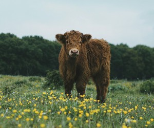 cattle and cow image