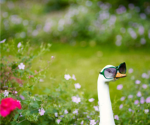 goose and sunglasses image