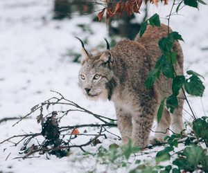 animals, canada, and kitten image